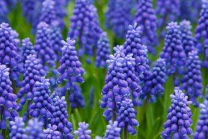 Veld vol hyacinten