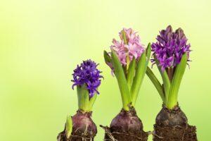 Hyacintbol